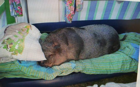 Så vann en död gris en saccosäck